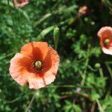 【オレンジの花】ナガミヒナゲシ ケシ科