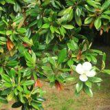 【白い花】ハクモクレン