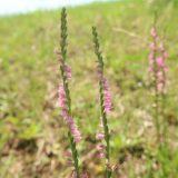 【ピンクの花】ネジバナ 非常に小さな花