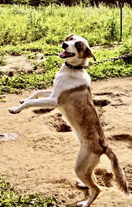 Brown Hound age 12 months.