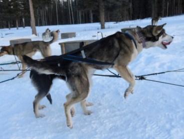 Dusk post Iditarod run with pups