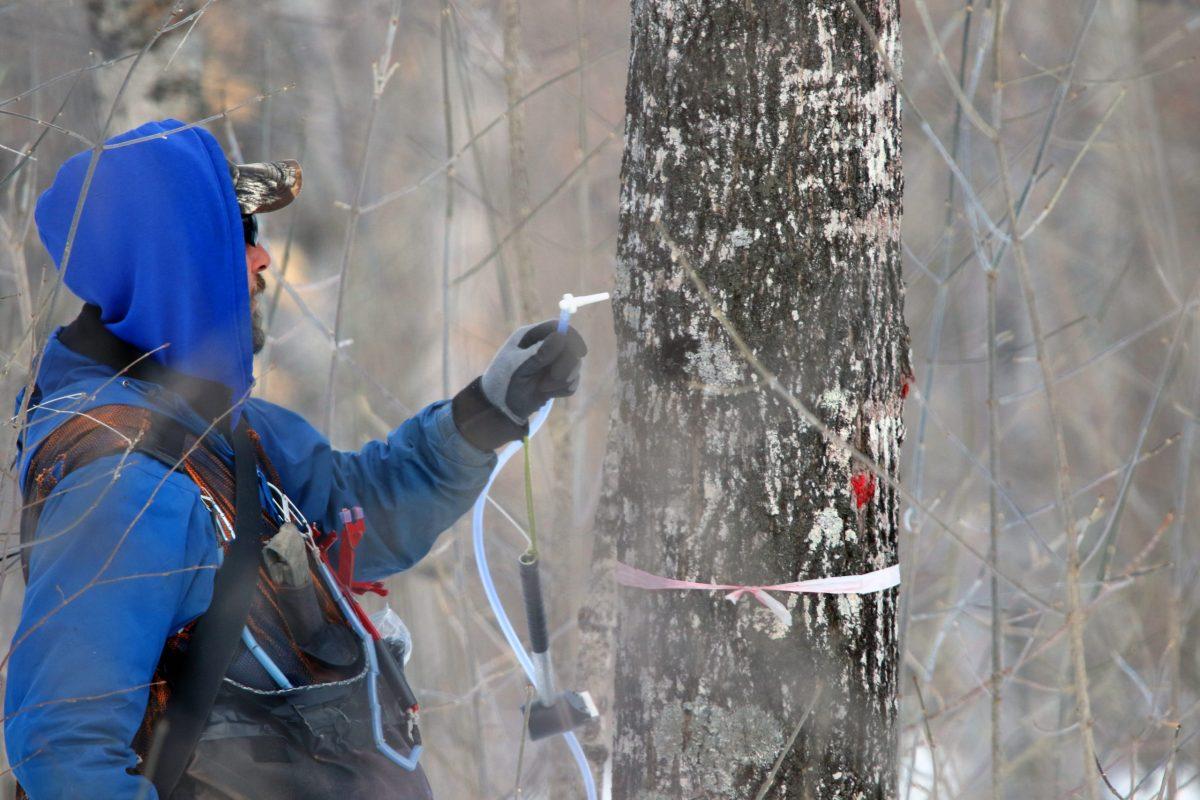 man in blue sweatshirt tapping a maple tree