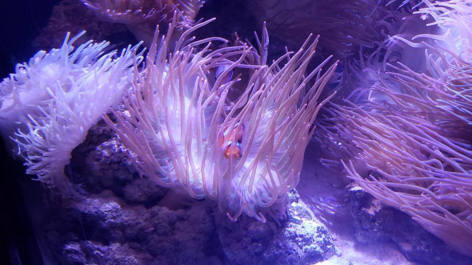 Georgia Aquarium clown anemonefish