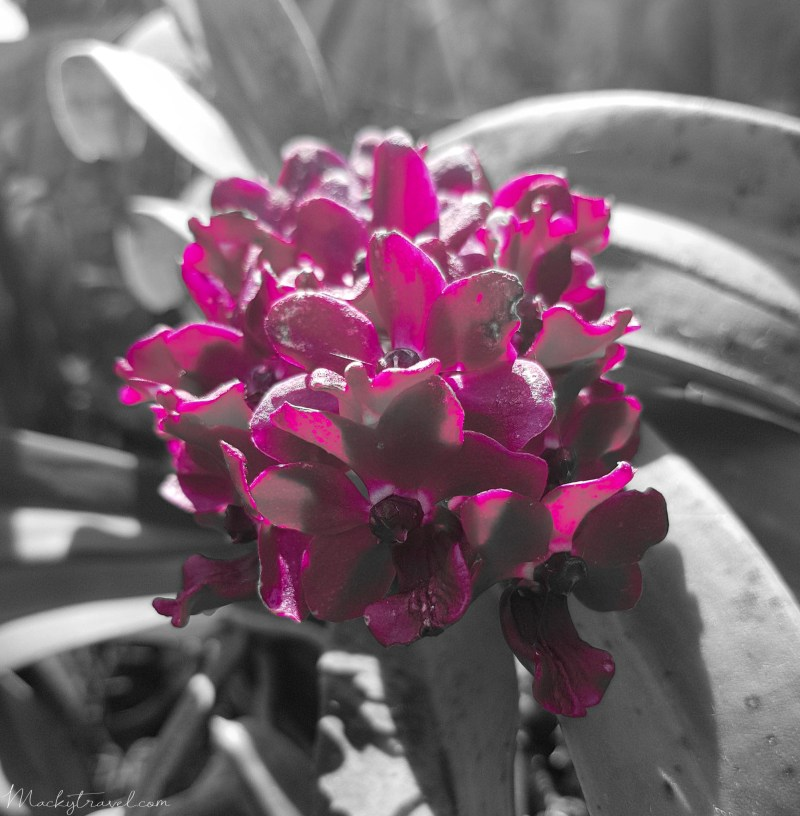Selective Color Magenta Lightroom preset