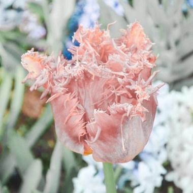 netherland pink lightroom mobile preset