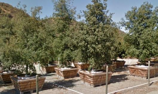 Árvores crescendo nas caixas para o campus da Apple