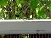 A Gecko at the Aloha Café