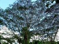 A Large Tree at Akaka Falls State Park