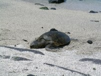 A Sea Turtle at the Keone'ele