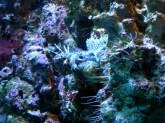 Hawaiian Lionfish