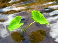 The Taro Plant