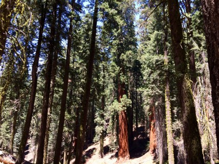 Trail of the Sequoias 6