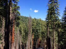 Trail of the Sequoias 11