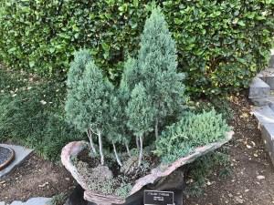 Italian Cypress