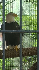 A rescued bald eagle on the wildlife trail. His wing was injured in the wild before he came to live at Dauset Trails. Photo by Lauren Deal.