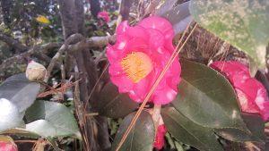 Massee Lane Camellia variety R. L. Wheeler