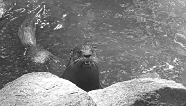 Otter at Daucet Trails