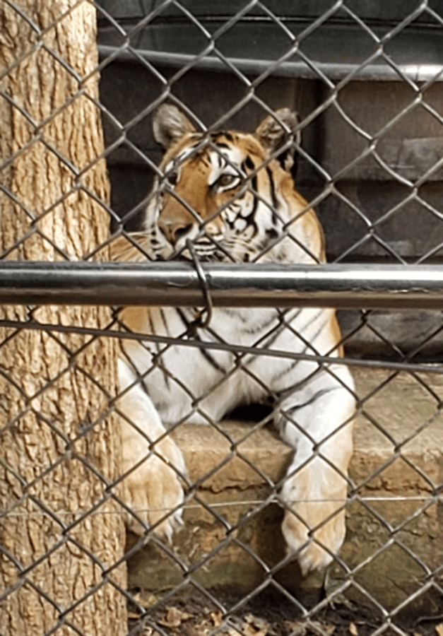 Bengal tiger - Noah's Ark Animal Sanctuary