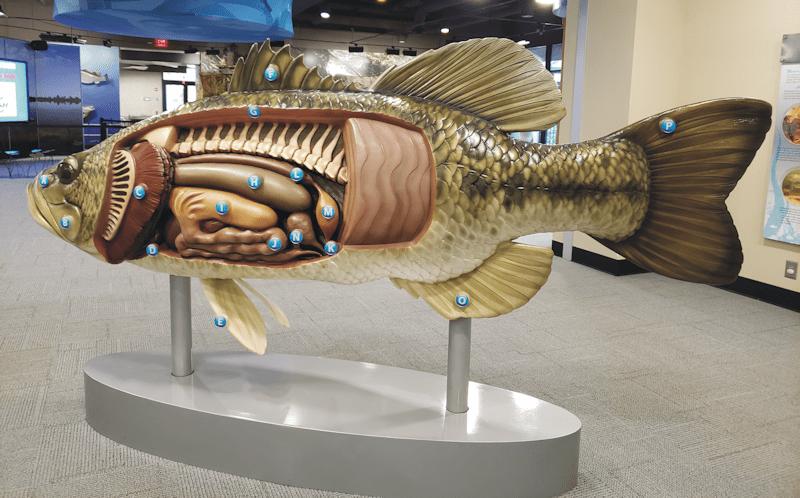 GoFish Georgia Fish Cutaway
