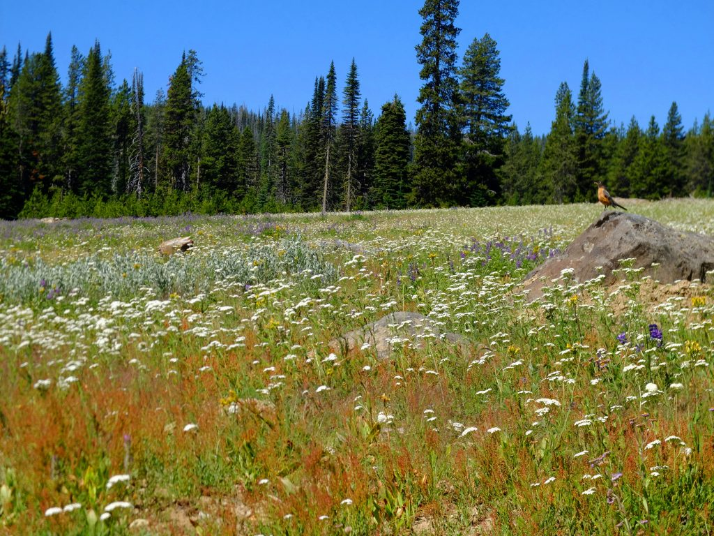 Robin in wildflower meadow in Wallowa-Whitman Nat'l Forest, near Fish Lake