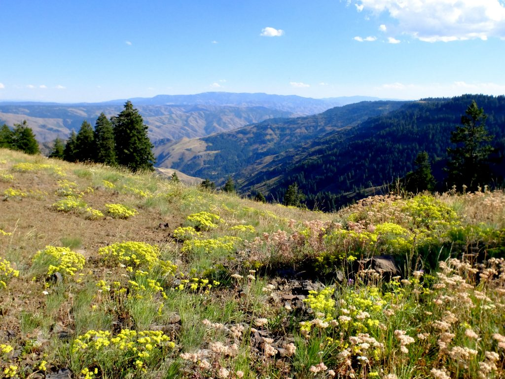View of Hell's Canyon from the Oregon rim, with yellow Buckwheat