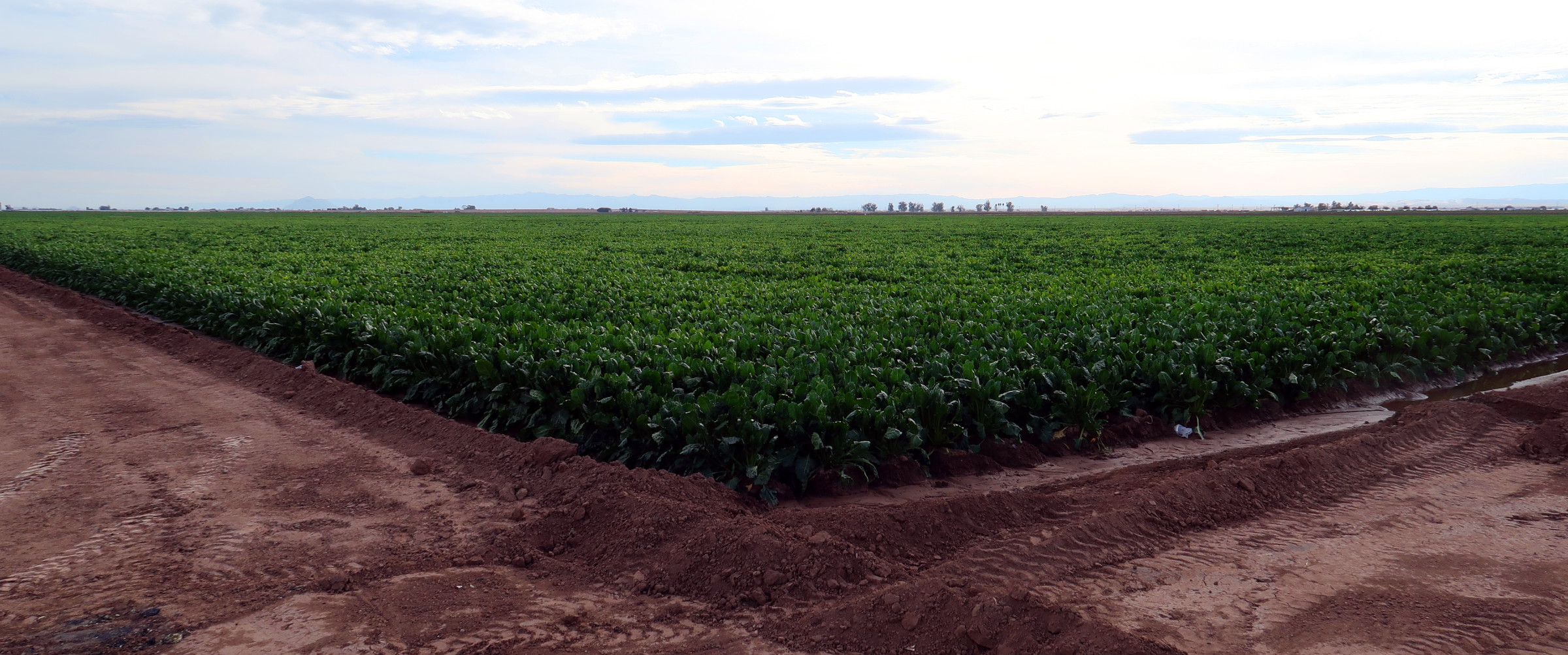 "Sugar Beet field in southern California in the desert near the Salton Sea. More than 90% of the Sugar Beets grown in the USA are GMO, genetically modified to be ""Round-up Ready."""