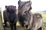 Ponis en Aspen Lodge