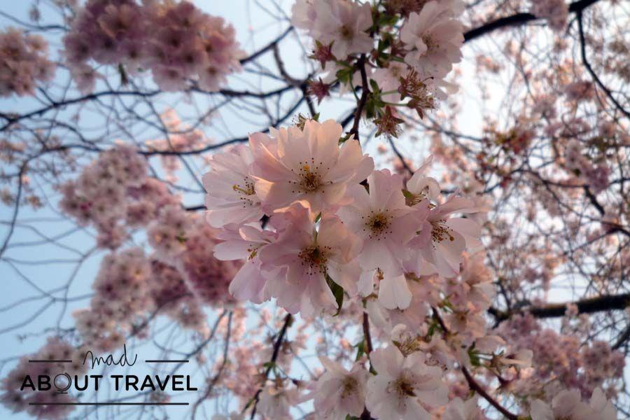 Cerezos en flor en Stratford