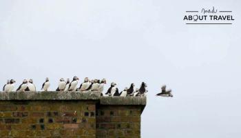 Puffins en la Isla de May en Escocia
