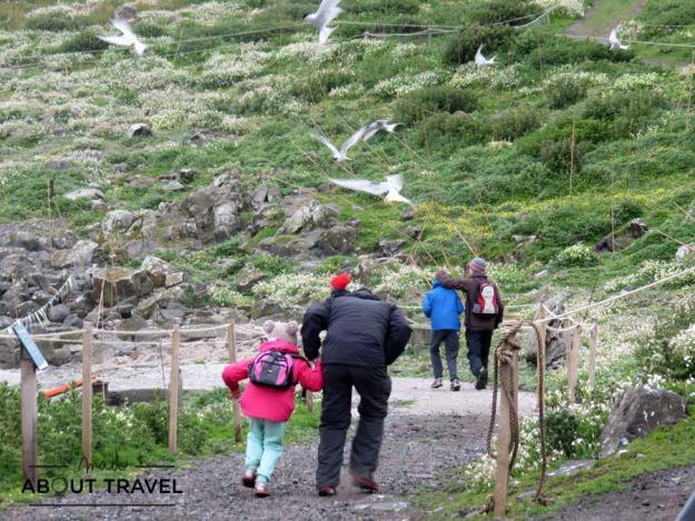 Turistas atacados por los charranes árticos en la Isla de May en Escocia