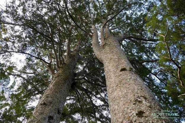 bosque de kauris en la península de coromandel, nueva zelanda