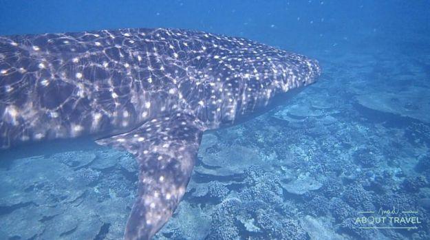 esnorquel con tiburón ballena en maldivas