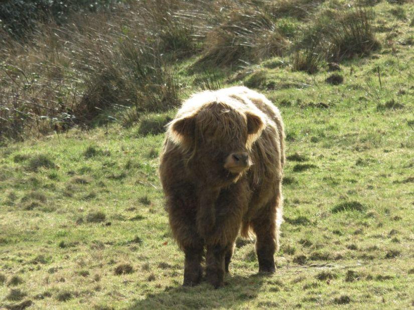 vaca de las highlands en la isla de arran, escocia