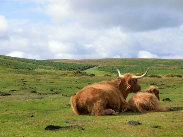 vaca de las tierras altas en escocia