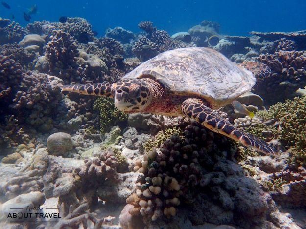 snorkel con tortugas en maldivas