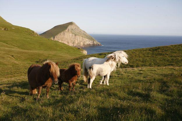 Un grupo de Shetland Ponies en las colinas de Foula, Shetland