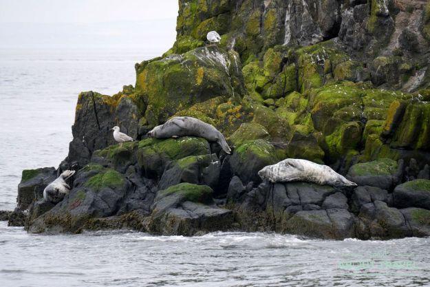 focas en el firth of forth, escocia