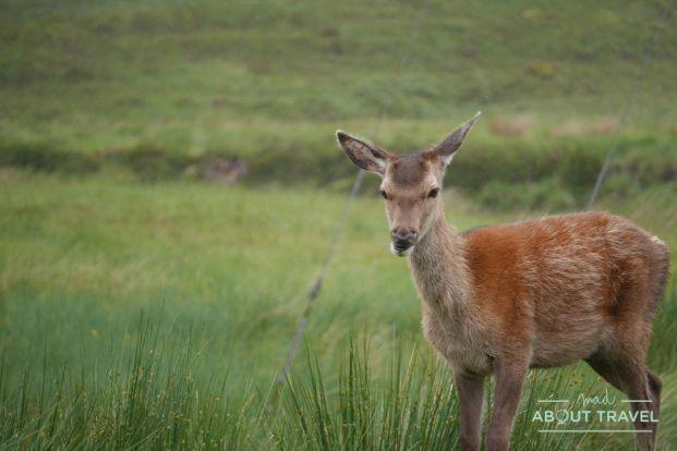 que ver en glencoe: ciervos en kingshouse hotel