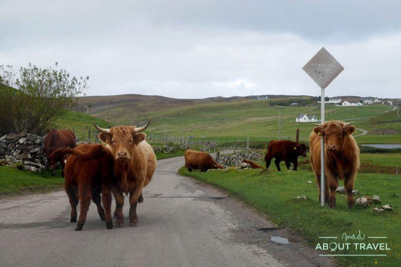 vacas peludas, Escocia