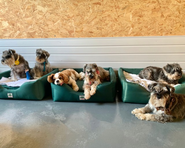 A schnauzer party with spaniels