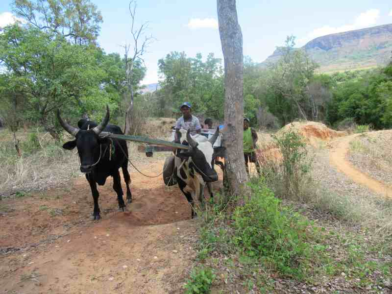 Zebu are used to get around in the countryside