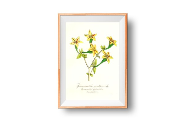 Gramnanthe gentianoide, succulent,1852, French, Le Maout botanical print