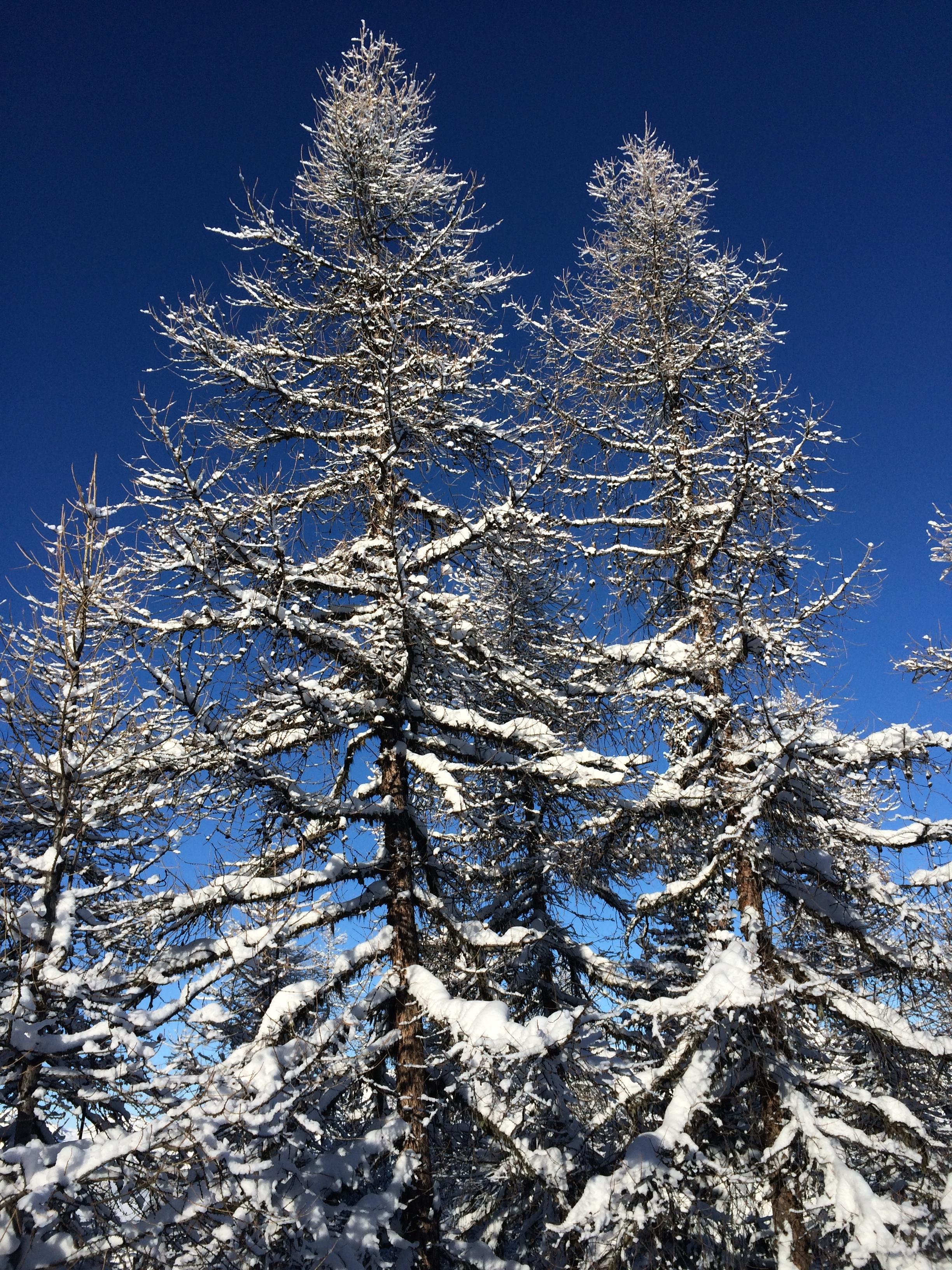 les arbres enneigées sur la station de ski de la plagne madame voyage