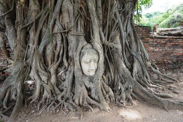 Budha head trapped inside Bodhi Tree