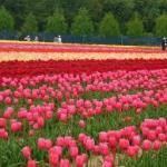 世良高原農場5月7日より再開!四季の花に会える料金・アクセス案内