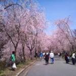 広島周辺2018お花見人気スポット開花時期アクセス案内