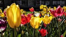 molens en tulpen (2)