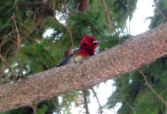 red-breasted sapsucker (photo by Karen Molenaar Terrell)