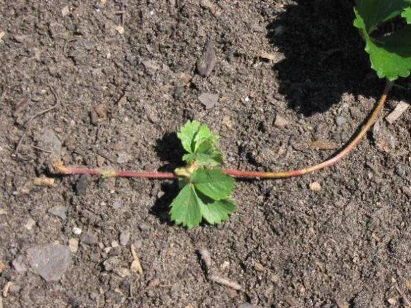 image5 | Как посадить и вырастить клубнику