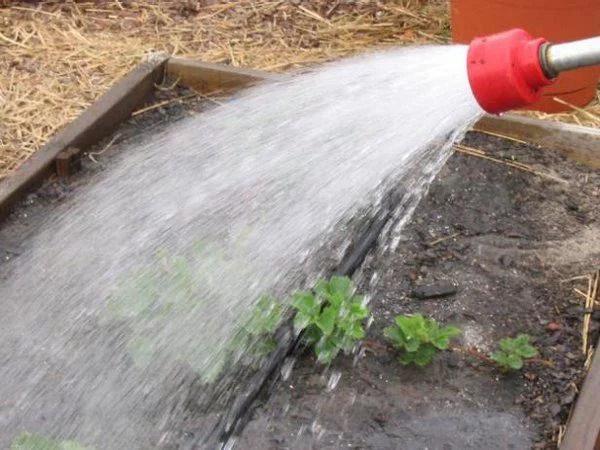 image6 | Как посадить и вырастить клубнику